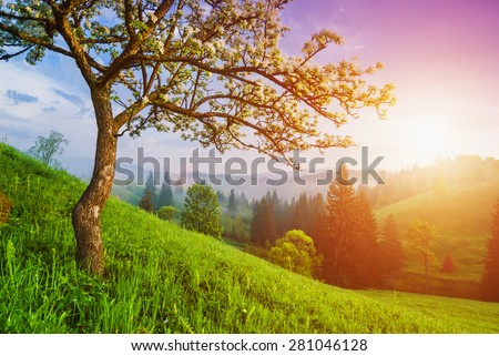 Flowering wild apple tree on a green hill in a Carpathian mountains. Majestic sunrise - stock photo