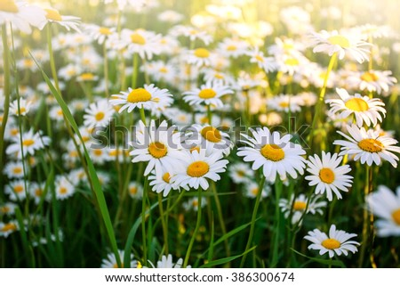 Flowering wild chamomile flowers on a field in sunny day - stock photo