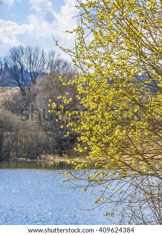 Flowering willow (Salix caprea} - stock photo