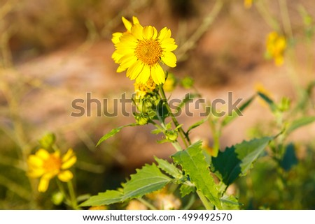 Flowering yellow chrysanthemum coronarium in desert
