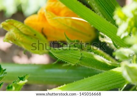Flowering zicchini - stock photo
