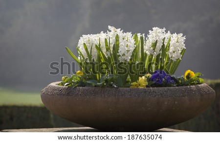 flowerpot with white hyacinths in the park