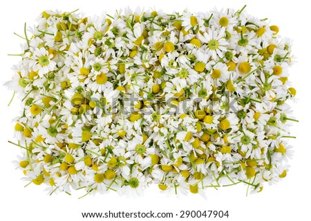 Flowers a medical camomile are prepared for drying  heap. Isolated with patch macro banner