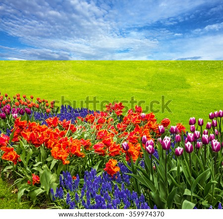Flowers and green meadow, tulip field, blue sky