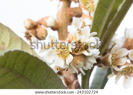 flowers and leaves of the china loquat tree, eriobotrya japonica - stock photo
