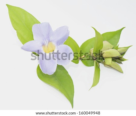 Flowers are blooming with purple flower on a white background.