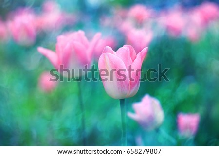 Flowers background. Pink flowers tulips lit by sunlight. Soft selective focus, toning. Bright colorful  photo background