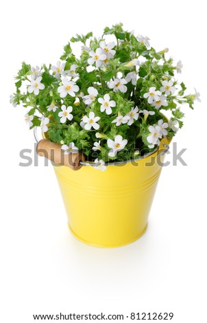 Flowers Bacopa (Sutera diffusus) in yellow bucket. Isolated on white.
