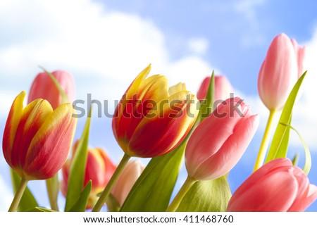 Flowers - beautiful tulips on blue sky background - stock photo