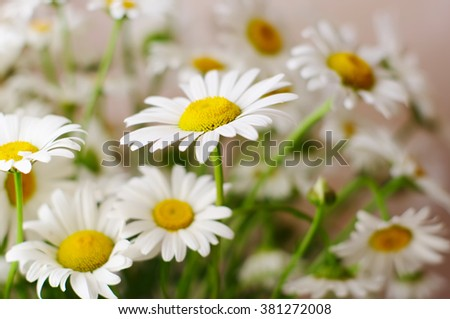 flowers big white camomile closeup, local soft focus, shallow DOF  - stock photo