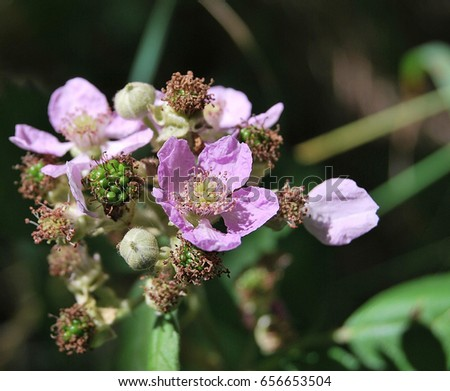 wild blackberry flower leaves stock images royaltyfree