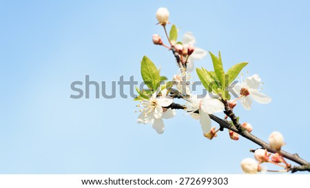 Flowers blooming mirabelle. Floral background,small depth of field