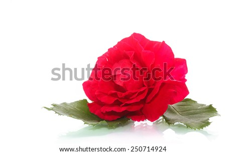 flowers blooming rose on a white background - stock photo