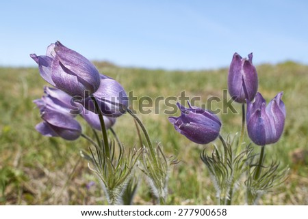 Flowers blossoming in wild nature in Altai mountains - stock photo