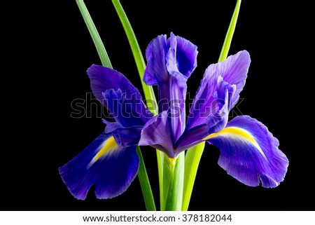 flowers blue purple irises with leaves close up isolated on black background