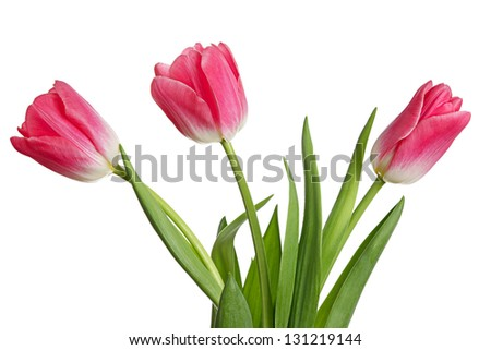 Flowers. Bouquet of tulips isolated on a white background