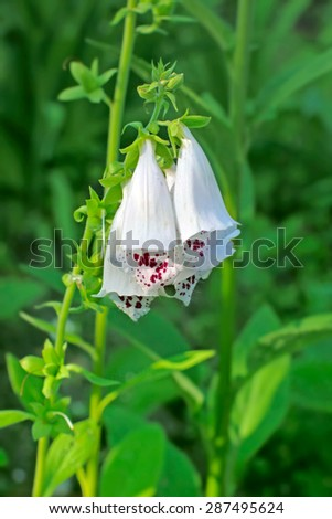 Flowers Campanula punctata on green background - stock photo