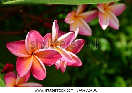 flowers color nature pagoda tree temple tree tropical blossom petal beauty background