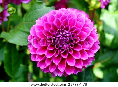 Flowers: Dahlia daisies (America flowers) isolated on white background - stock photo
