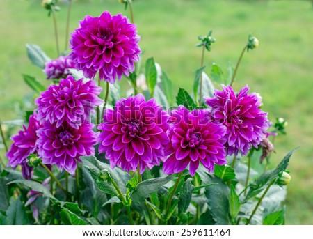 Flowers dahlias - stock photo