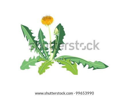Flowers dandelions with green leaves