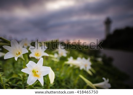 Flowers, Easter lily, close-up. Okinawa, Japan, Asia. - stock photo