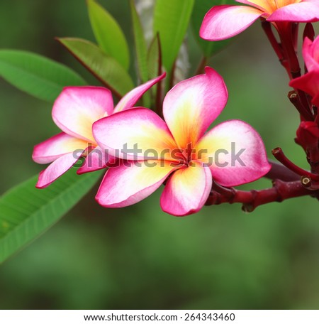 flowers frangipani - stock photo