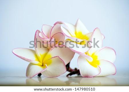 flowers frangipani on white background - stock photo