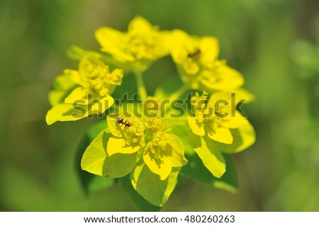Flowers from Euphorbia verrucosa