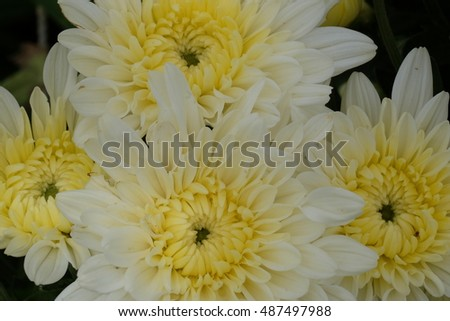 flowers garden of chrysanthemums with yellow and white color