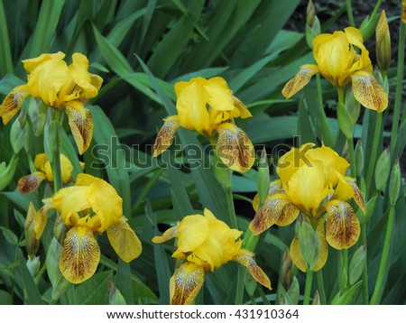Flowers garden varieties of yellow iris closeup