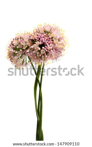 Flowers head of an onion  on white background