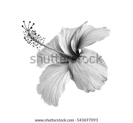 Flowers hibiscus on a white background