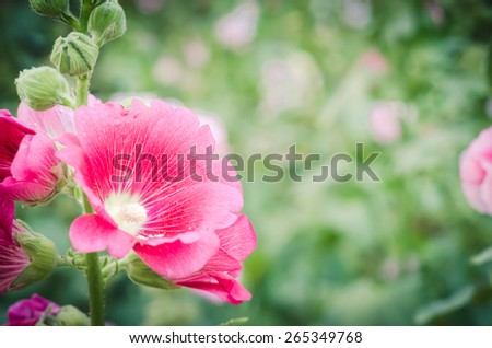 Flowers holly hock (Hollyhock) pink closeup Beautiful sunshine in the garden.soft focus. - stock photo