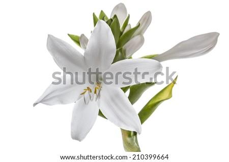 Flowers Hosts, lat. Hosta, isolated on white background - stock photo