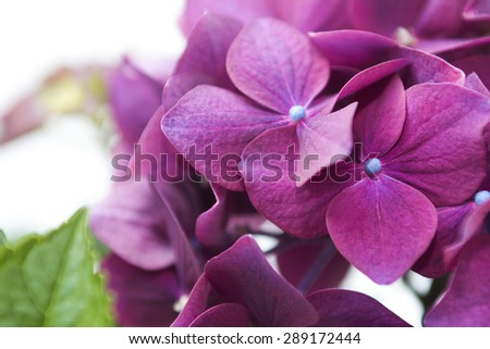 Flowers Hydrangea closeup on a white background. - stock photo