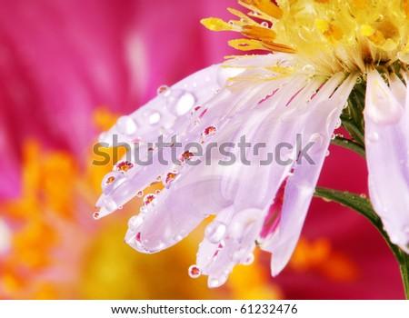 flowers in raindrops macro - stock photo
