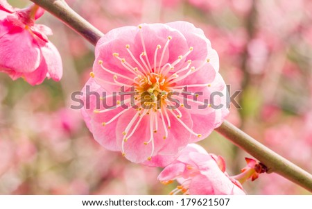 Flowers in spring series: plum blossoming in spring, it is the only remaining last winter flower, is the earliest blooming flower in spring. It shows struggle and pride.