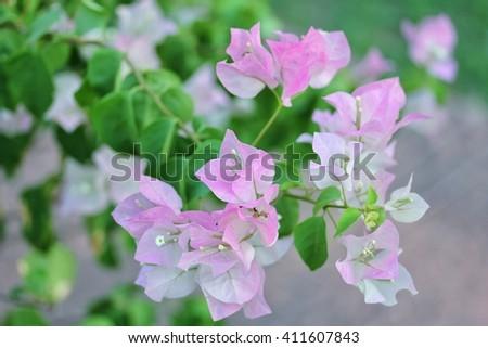 Flowers thailand paper flowerpink flowerbougainvillea stock photo flowers in thailand paper flowerpink flowerbougainvillea mightylinksfo