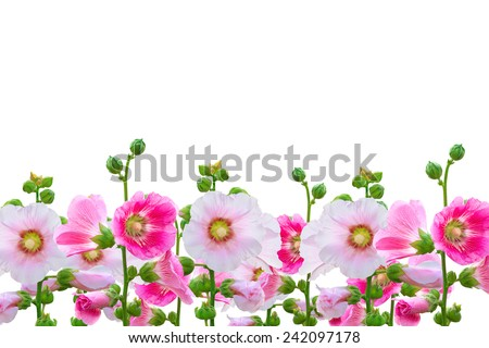 Flowers in the garden,Flowers Holly Hock (Hollyhock) pink closeup isolated on white background - stock photo