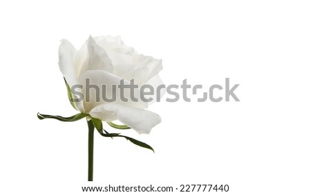 flowers isolated white background