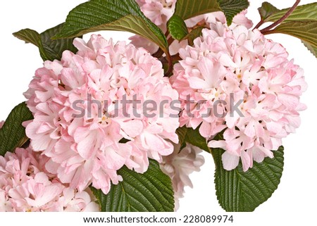Flowers, leaves and stems of a snowball viburnum (Viburnum plicatum forma plicatum) cultivar Kerns Pink isolated against a white background