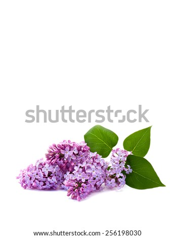 Flowers lilac on a white background - stock photo