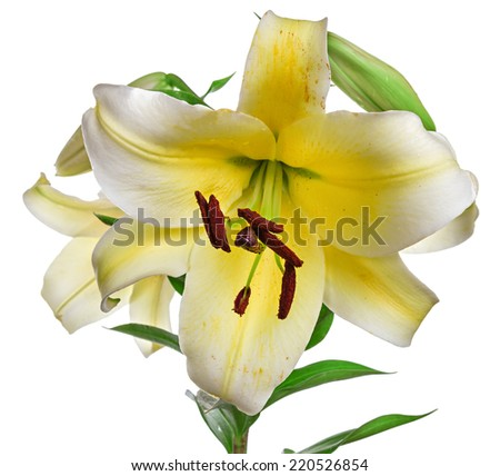flowers  lily isolated on white background