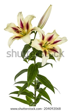 Flowers lily, lat. Lilium Oriental Hybrids, isolated on white background - stock photo