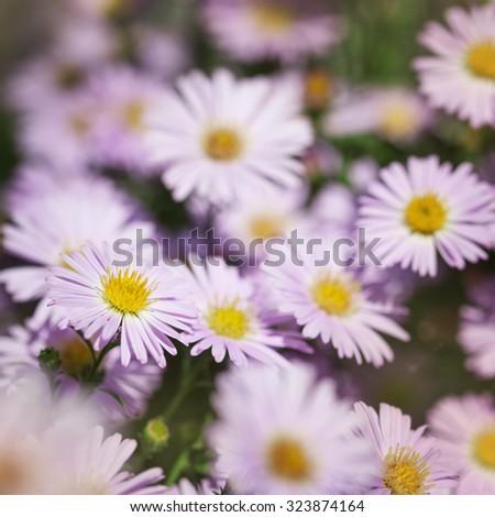 Flowers Michaelmas Daisy illuminated by sunlight - stock photo