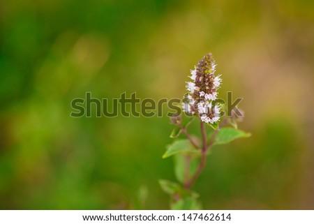 flowers mint - stock photo