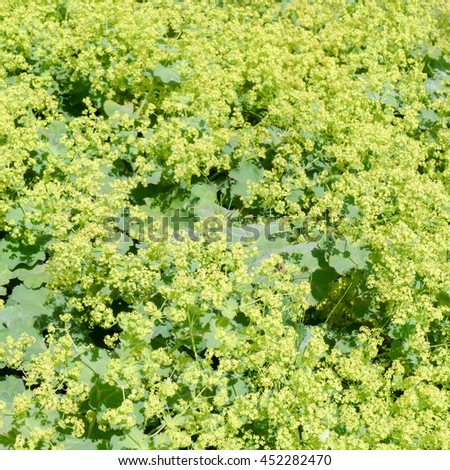 Flowers of a blossoming lady's mantle or Alchemilla mollis. - stock photo