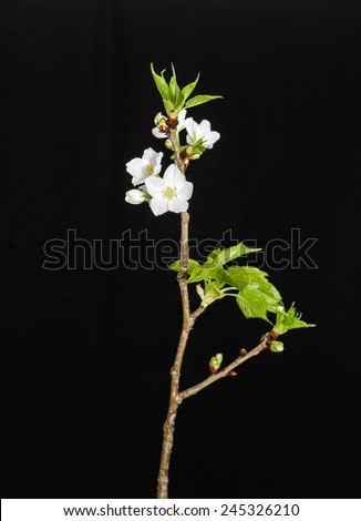 Flowers of a branch of an apricot - stock photo