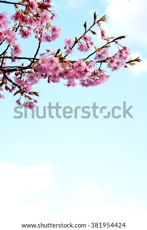 Flowers of a cherry tree bloom in early spring in Japan
